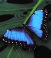 Le très rarissime papillon Bleu Morpho